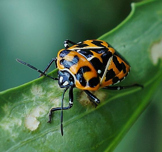 The Harlequin Bug (Murgantia histrionica) - Adult - Murgantia histrionica