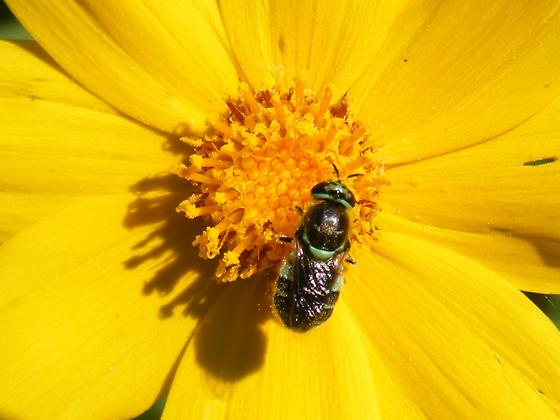 Unknown Fly species (Bee mimic, apparently; I don't think it is a bee) on Coreopsis