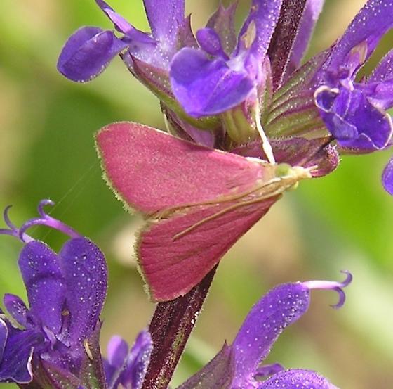 Small Pink Moth - Pyrausta inornatalis