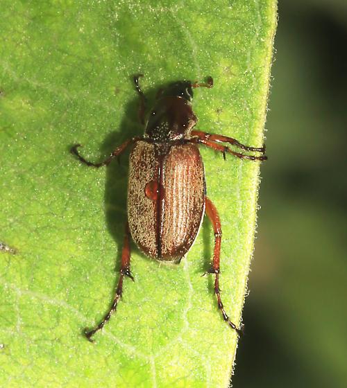 Scarabaeidae, Rose Chafer, dorsal - Macrodactylus