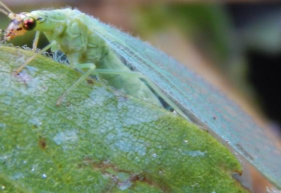 Lacewing (Chrysopidae) - Chrysopa
