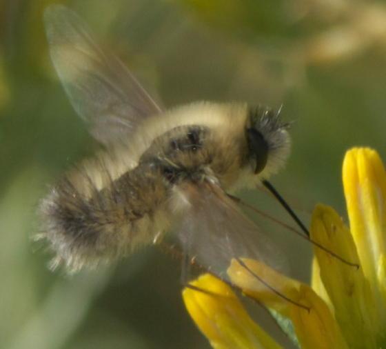 Tan, hairy bee fly - Anastoechus