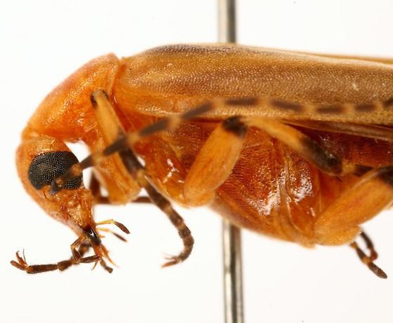 Pseudozonitis pallidus Dillon - Pseudozonitis pallidus