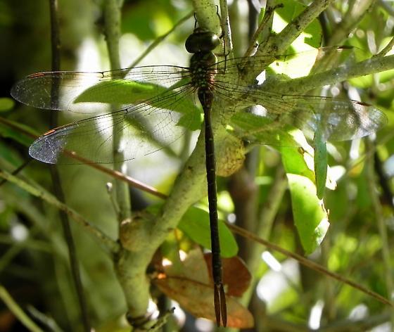 Twilight Darner or Cuban Darner? - Tricanthagyna trifida - female
