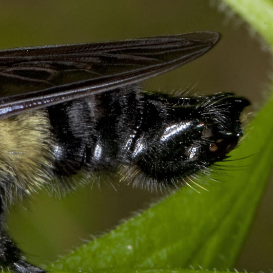 Bad Day - Laphria grossa - male