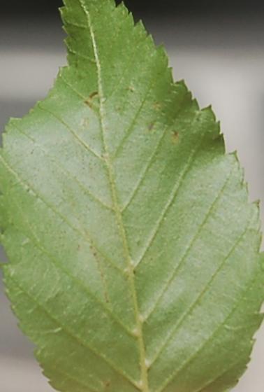 Lake Crabtree leaf miner on Carpinus caroliniana D956 2018 3 - Caloptilia ostryaeella