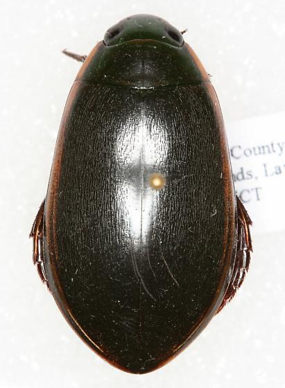 Predacious Diving Beetle - Cybister fimbriolatus