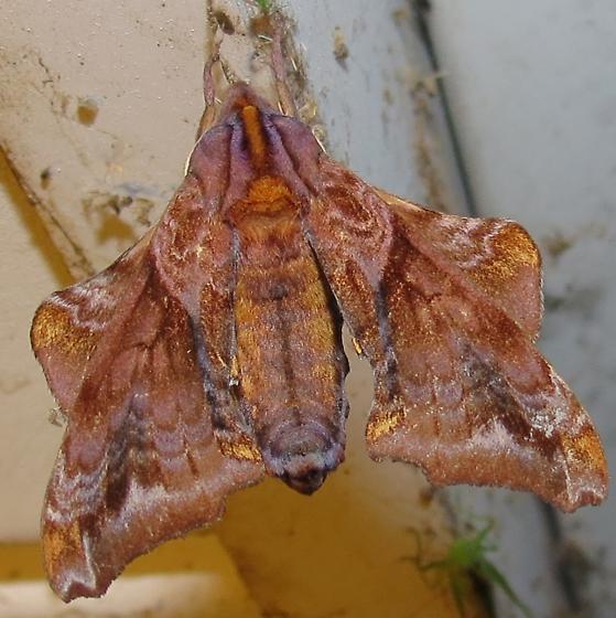 neat moth - Paonias myops