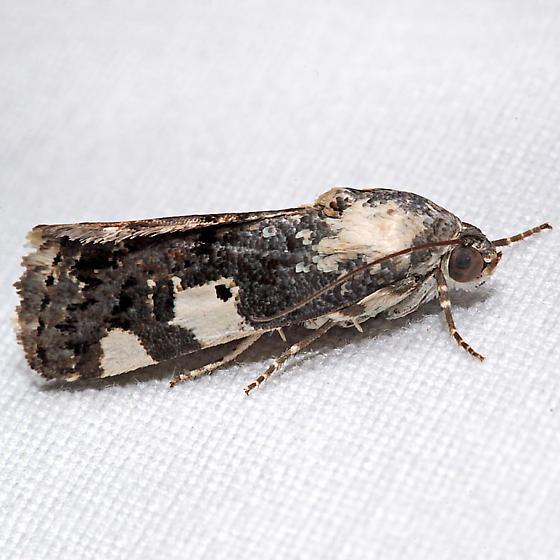 Tarache aprica - female