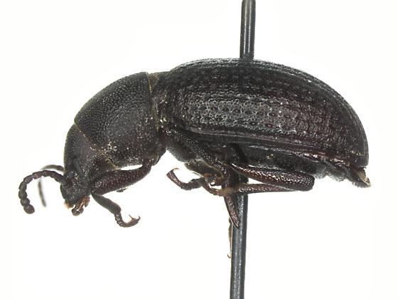 Tenebrionidae - Helops