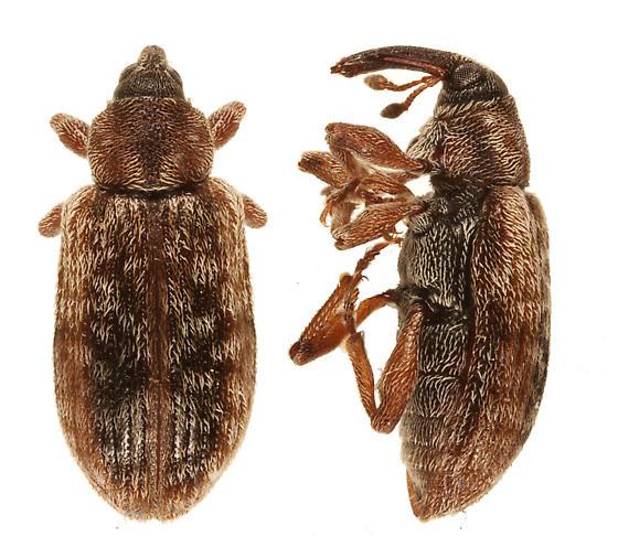 weevil - Dorytomus brevicollis