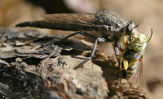 Robber Fly - Proctacanthus occidentalis