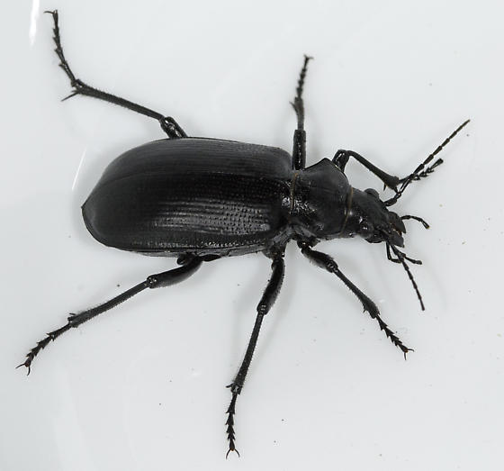Green Valley parking lot - Calosoma prominens - female