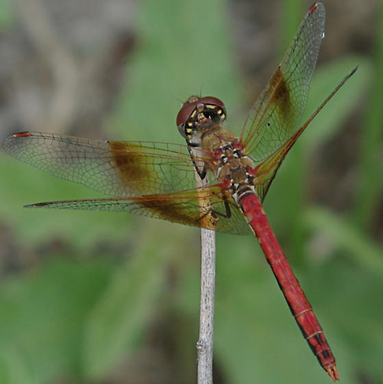Red dragonfly with reddish patches on wings - Sympetrum semicinctum