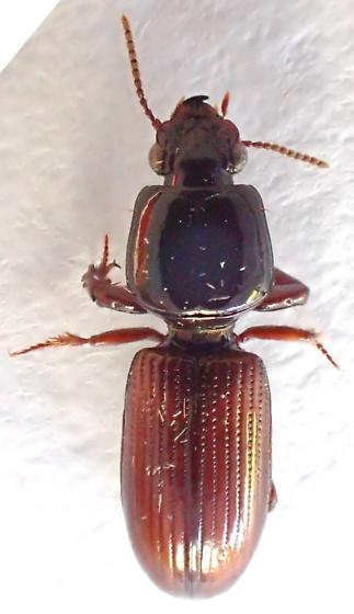 ref photo for peter Messer - Paraclivina bipustulata