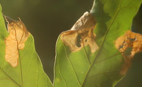 Leigh Farm Park leaf miner on Quercus falcata D505 2017 1 - Dyseriocrania griseocapitella