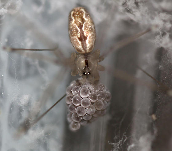 Spider outside my bedroom window (2 in one web - with eggs?) - Holocnemus pluchei