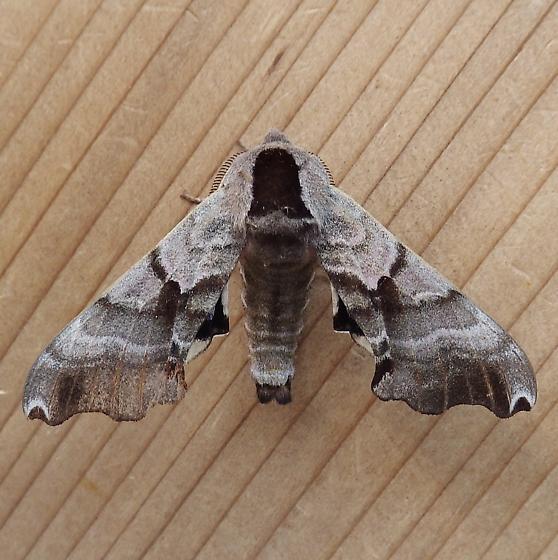 Sphingidae: Smerinthus jamaicensis - Smerinthus jamaicensis - male