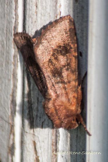 Bronzed Cutworm Moth - Hodges#10524 (Nephelodes minians) - Nephelodes minians