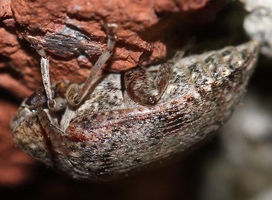 Beetle - Amblycerus robiniae