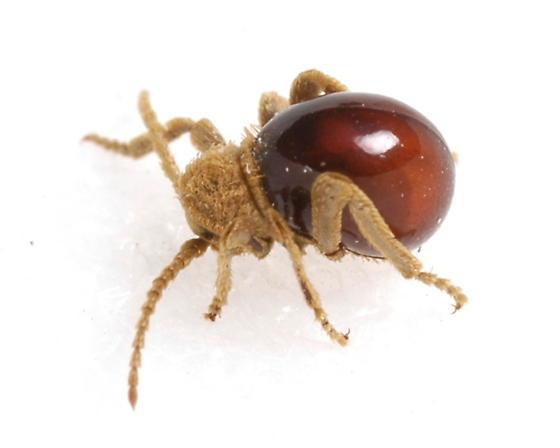 Northern Spider Beetle - Mezium affine