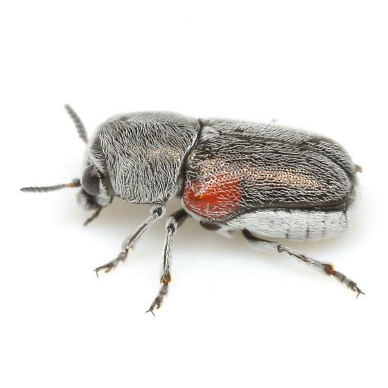 Coleothorpa axillaris (J. L. LeConte) - Coleothorpa axillaris