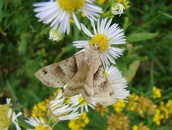 New Moth Question - Caenurgina crassiuscula