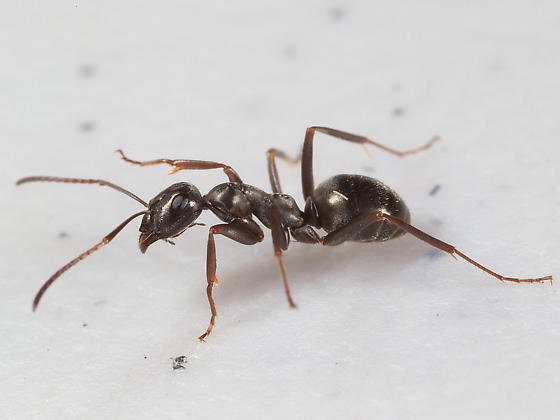 Ant with fly - Formica glacialis