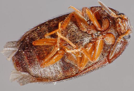 Attagenus - Attagenus brunneus - male