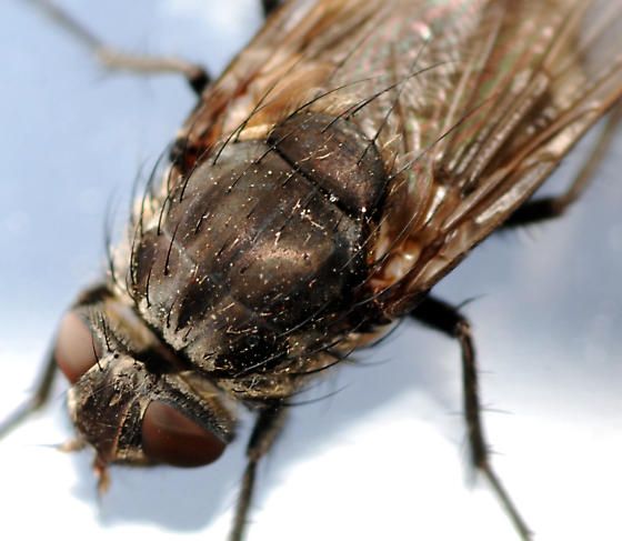 cluster fly - Pollenia vagabunda - female