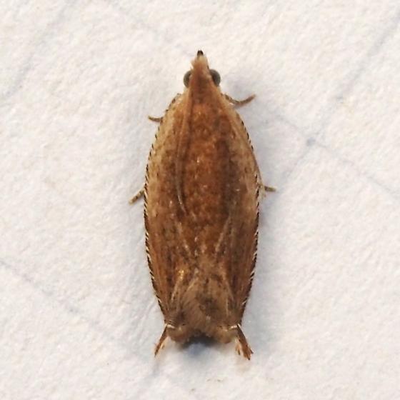 Species ID Request - Ancylis cordiae