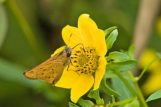 Skipper ID please - Hylephila phyleus