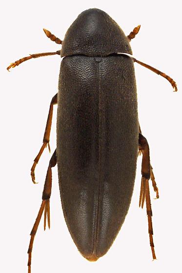 False Darkling Beetle - Orchesia castanea
