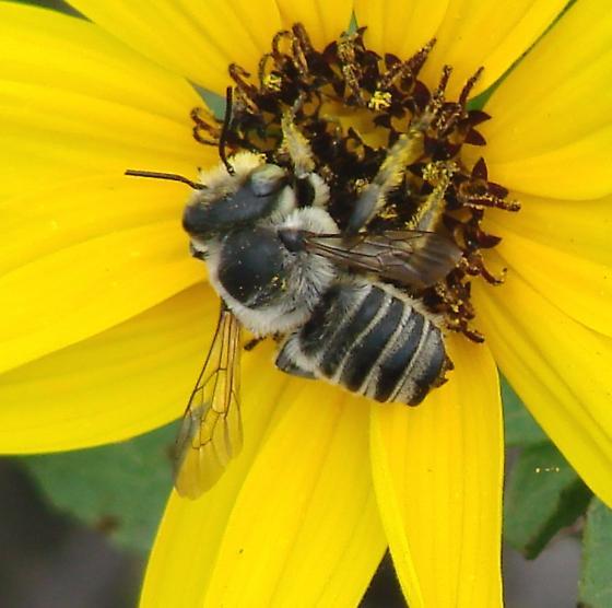 Megachile parallela male - Megachile parallela - male
