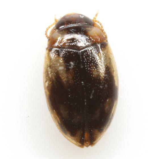 Neoclypeodytes cinctellus (LeConte) - Neoclypeodytes cinctellus