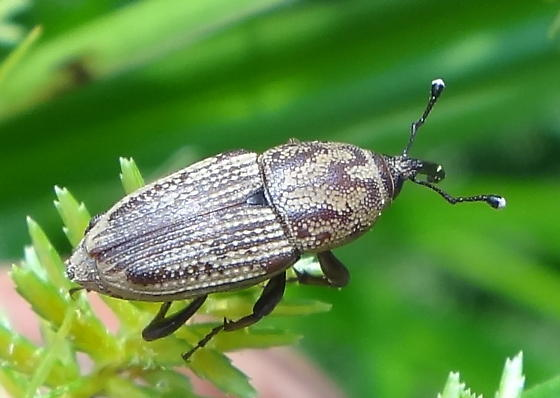 Similar to (or is?) Sphenophorus - Sphenophorus venatus