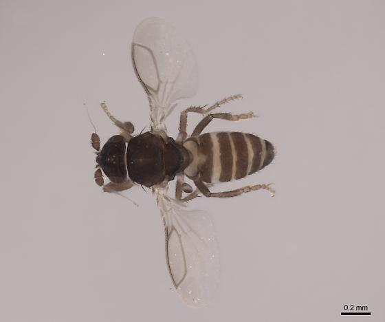 Bromeloecia - male