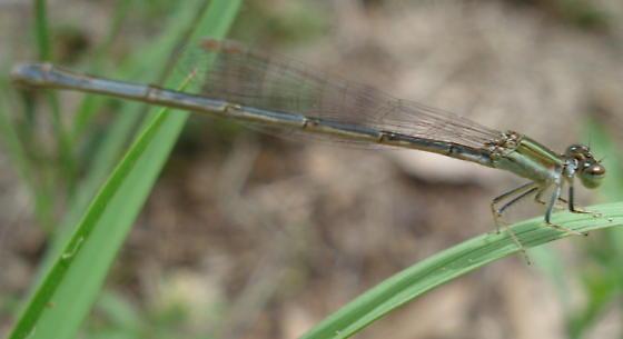 Citrine Forktail from Florida - Ischnura hastata - female