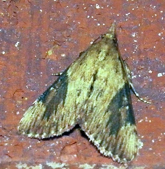 Moth 061316bara - Omphalocera cariosa