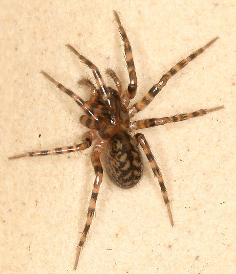 #7 Spider for Rod - Cybaeus - female