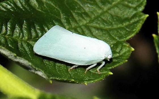 Plant Hopper - Flatormenis proxima