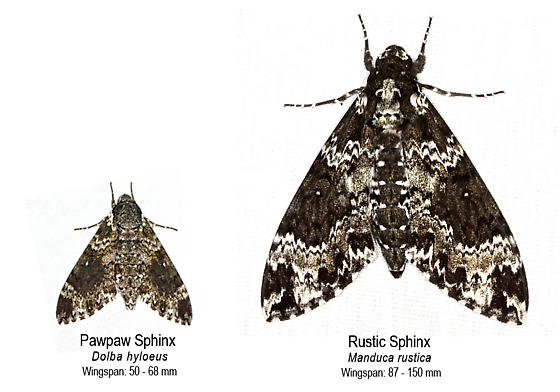 Visual Comparison between Paw Paw & Rustic Sphinx - Manduca rustica