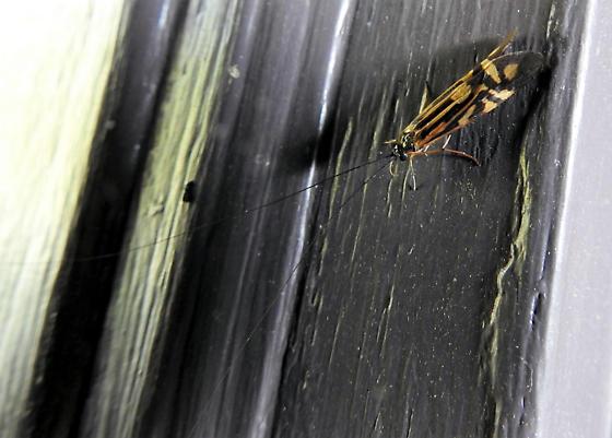 Macrostemum zebratum - Zebra Caddisfly - Macrostemum zebratum