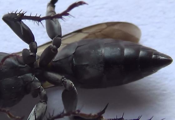 Square-headed Wasp Body Scan (ventral abdomen) - Liris - female