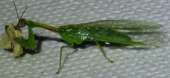 unknown insect - Zeugomantispa minuta