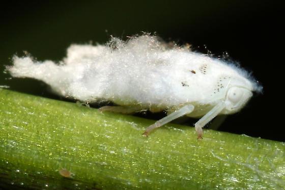 Planthopper nymph - Flatormenis proxima