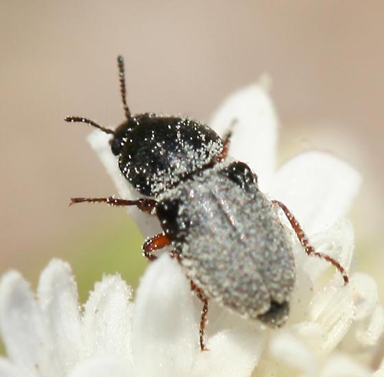 Small beetle - Byturosomus fuscus