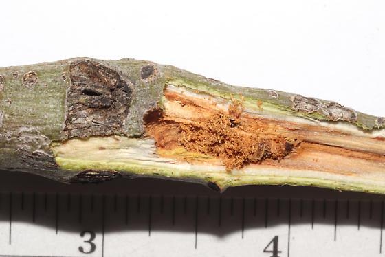 Sesiidae, stem swelling(s) on Aspen, opened, Dusky Clearwing - Paranthrene tabaniformis
