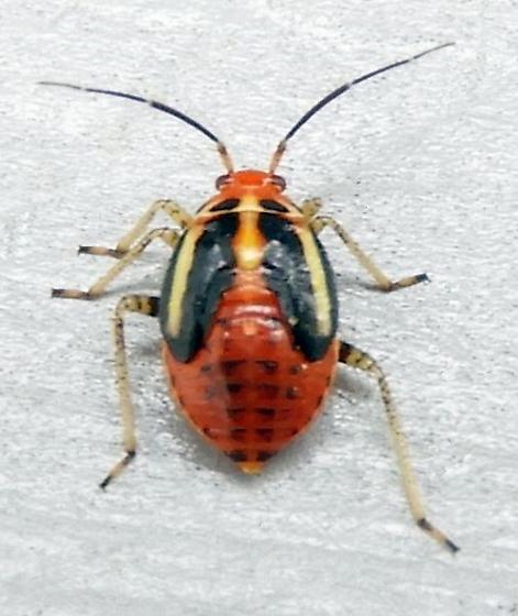 Pennsylvania True Bug for ID - Poecilocapsus lineatus
