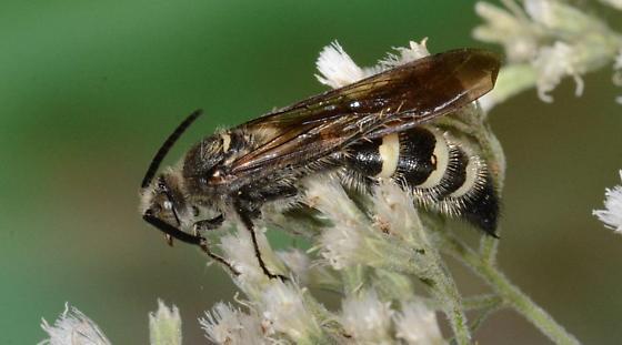 Large wasp nectaring on Bone Set (Eupatorium rotundiflorium)  flowers on Spring Island, Okatie, SC - Dielis plumipes